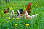 Hens and rooster in the meadow